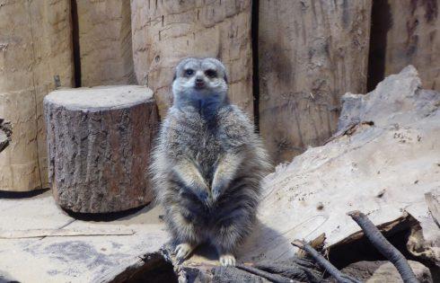 Erdmännchen, looking meerkat,