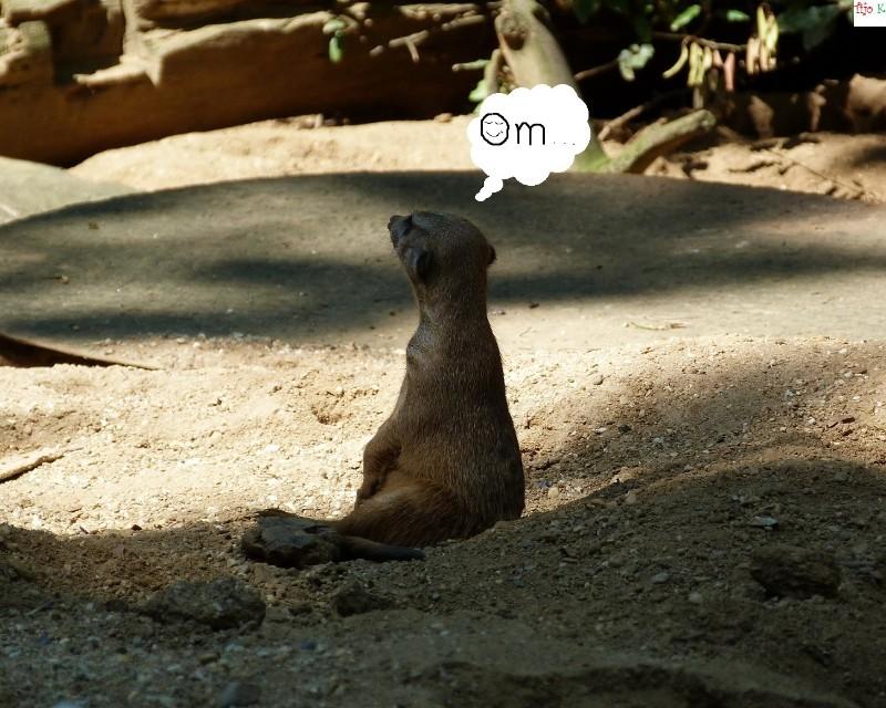 meditating meercat, Om